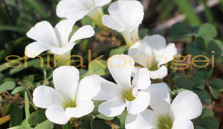 オキザリス ブラジルホワイト