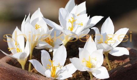 秋咲きクロッカス スペシオサスアルバ