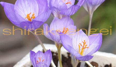 秋咲きクロッカス スペシオサスコンカラー_2